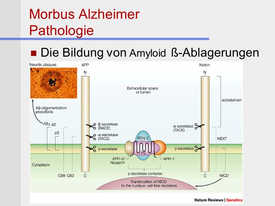 Morbus Alzheimer Pathologie Die Bildung von Amyloid ß-Ablagerungen