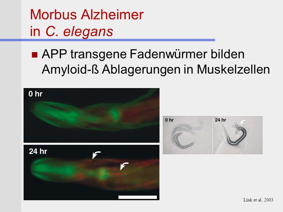 Morbus Alzheimer in C. elegans APP transgene Fadenwürmer bilden Amyloid-ß Ablagerungen in Muskelzellen 50mm Link et al. 2003