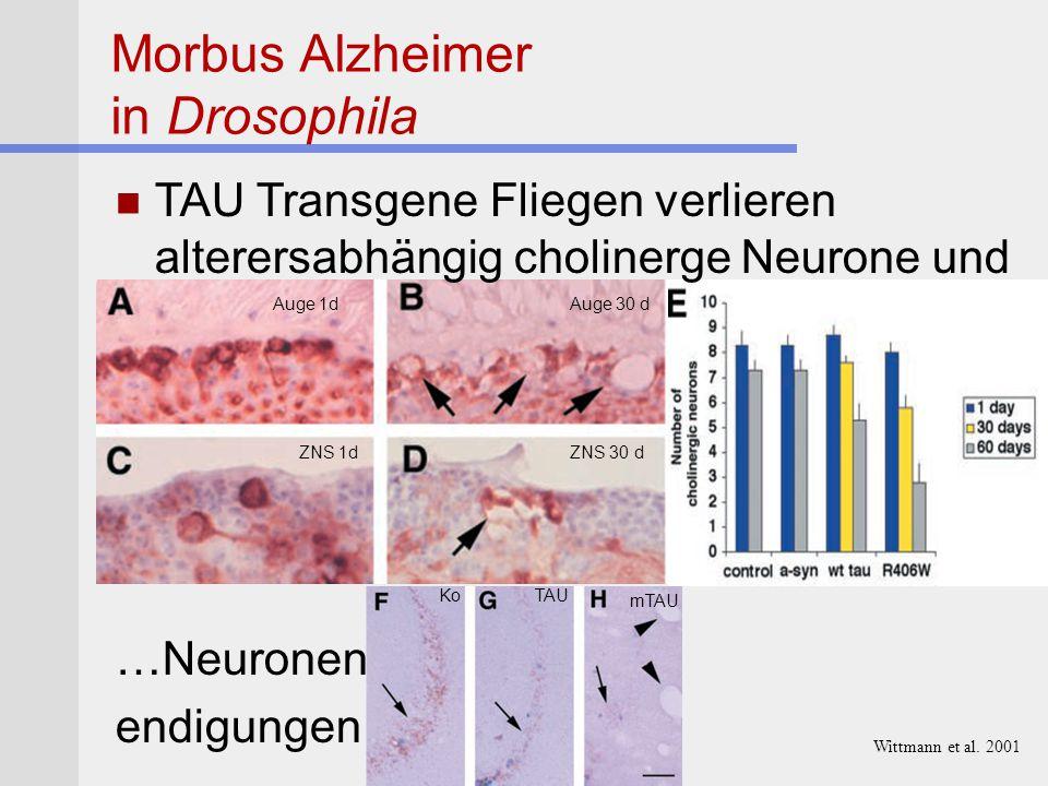 Morbus Alzheimer in Drosophila TAU Transgene Fliegen verlieren alterersabhängig cholinerge Neurone und …Neuronen endigungen Auge 1d ZNS 1d Auge 30 d Z