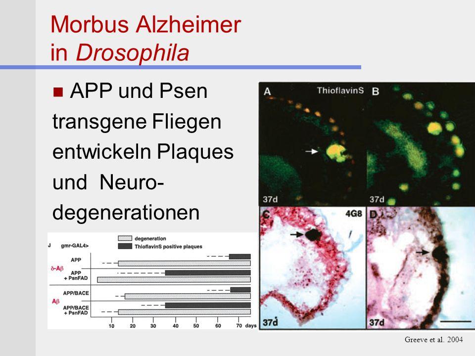 Morbus Alzheimer in Drosophila APP und Psen transgene Fliegen entwickeln Plaques und Neuro- degenerationen Greeve et al. 2004