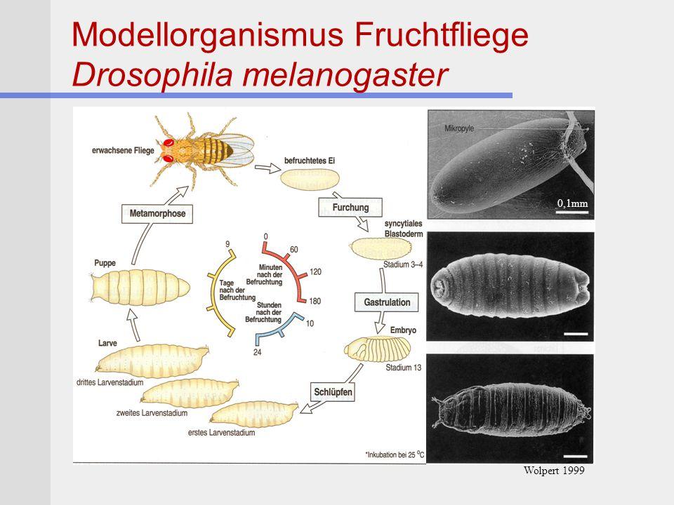 Modellorganismus Fruchtfliege Drosophila melanogaster 0,1mm Wolpert 1999
