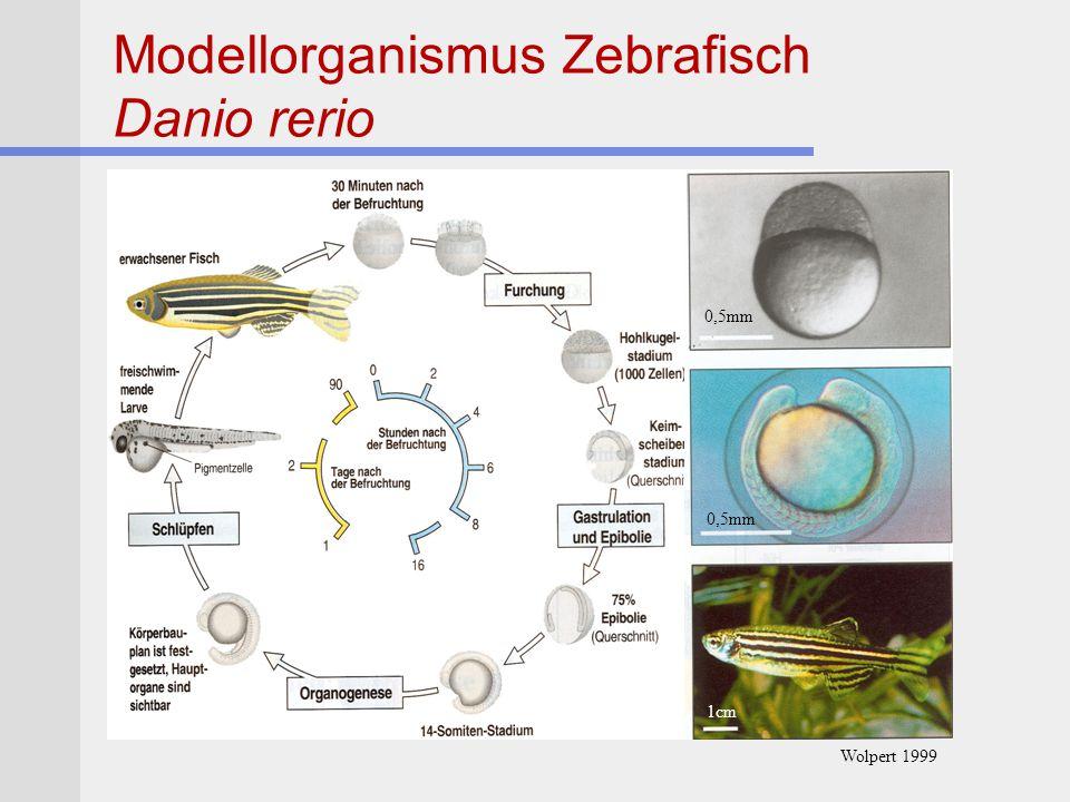 Morbus Parkinson in transgenen Mäusen Mutantes humanes  -Synuclein in Mäusen Mauslinie 1  Synuclein in allen Neuronen Mauslinie 2  Synuclein in DA Neuronen Mauslinie 3  Synuclein in Glia Zellen Stichel und Lüber 2003