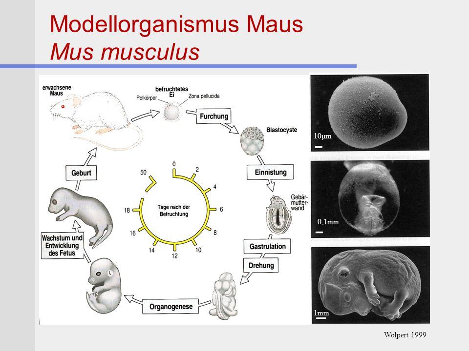 Modellorganismus Maus Mus musculus 10µm 0,1mm 1mm Wolpert 1999