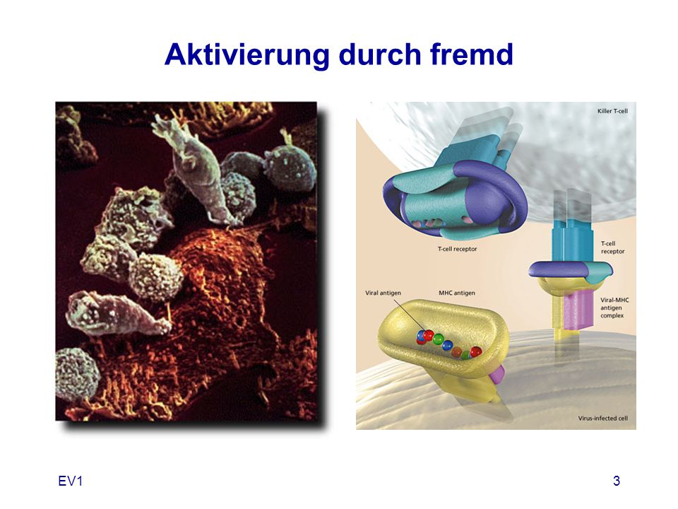 EV114 Klonale Deletion eigen Proteine unreife T Zellen im Thymus erkennen / binden = Apopthose ZelltodEigentoleranz positiv/negativ Selektion