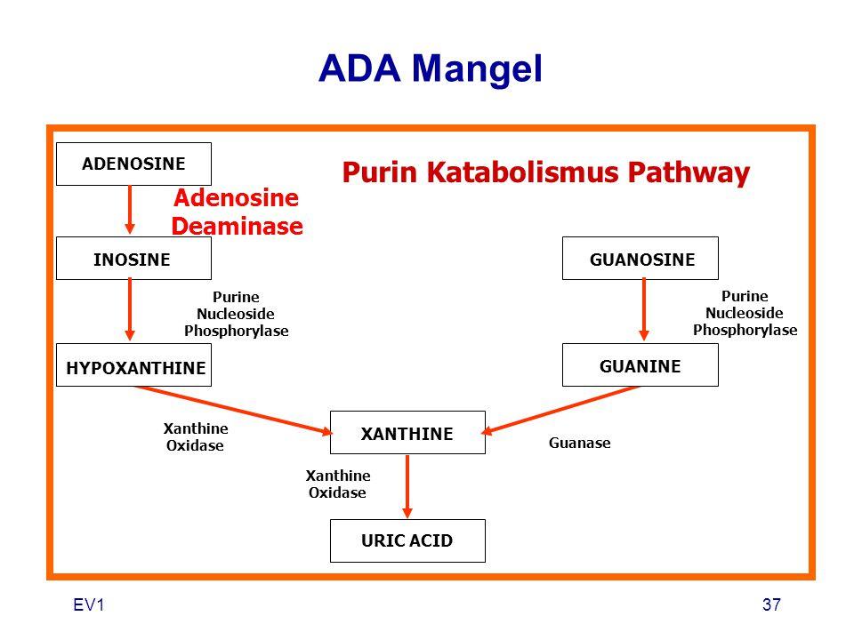 EV137 ADENOSINE INOSINE HYPOXANTHINE XANTHINE URIC ACID GUANOSINE GUANINE Purin Katabolismus Pathway Adenosine Deaminase Purine Nucleoside Phosphoryla