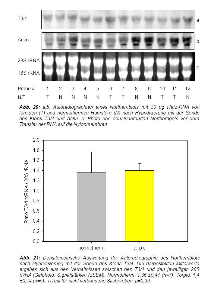 Abb. 21: Densitometrische Auswertung der Autoradiographie des Northernblots nach Hybridisierung mit der Sonde des Klons T3/4. Die dargestellten Mittel