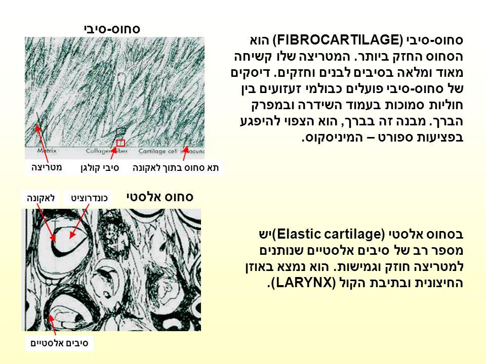 תא סחוס בתוך לאקונהסיבי קולגן מטריצה סחוס-סיבי סחוס-סיבי (FIBROCARTILAGE) הוא הסחוס החזק ביותר. המטריצה שלו קשיחה מאוד ומלאה בסיבים לבנים וחזקים. דיסק
