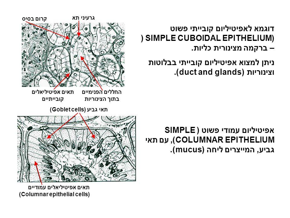 אפיטיליום עמודי פשוט מרכיבים את פני השטח של קרומים לחים (mucus membranes) המדפנים את הקיבה, המעי, הרחם, דרכי השתן וחלק מדרכי הנשימה.