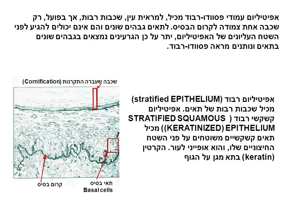 אפיטיליום עמודי פסוודו-רבוד מכיל, למראית עין, שכבות רבות, אך בפועל, רק שכבה אחת צמודה לקרום הבסיס. לתאים גבהים שונים והם אינם יכולים להגיע לפני השטח ה