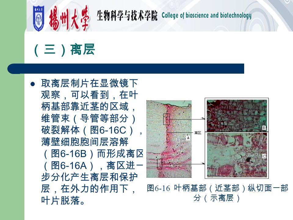 (三)离层 取离层制片在显微镜下 观察,可以看到,在叶 柄基部靠近茎的区域, 维管束(导管等部分) 破裂解体(图 6-16C ), 薄壁细胞胞间层溶解 (图 6-16B )而形成离区 (图 6-16A ),离区进一 步分化产生离层和保护 层,在外力的作用下, 叶片脱落。 图 6-16 叶柄基部(近茎