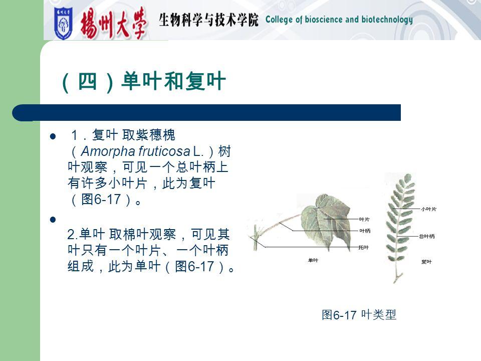 (四)单叶和复叶 1 .复叶 取紫穗槐 ( Amorpha fruticosa L. )树 叶观察,可见一个总叶柄上 有许多小叶片,此为复叶 (图 6-17 )。 2. 单叶 取棉叶观察,可见其 叶只有一个叶片、一个叶柄 组成,此为单叶(图 6-17 )。 图 6-17 叶类型