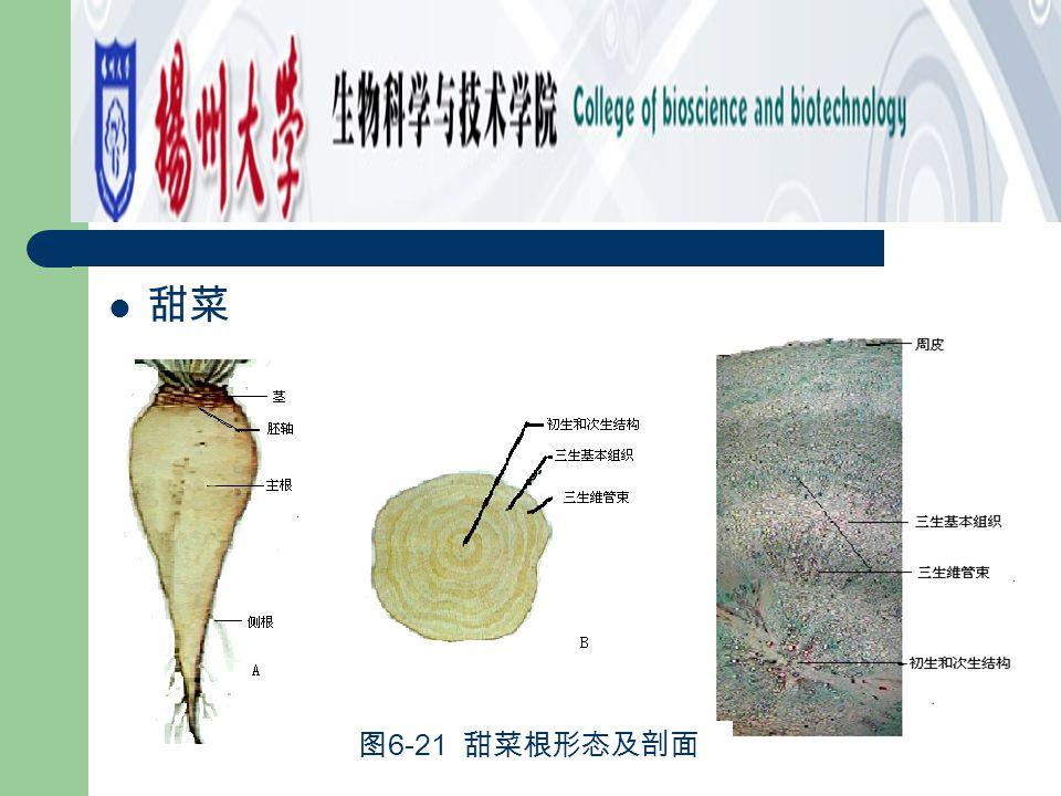 甜菜 图 6-21 甜菜根形态及剖面
