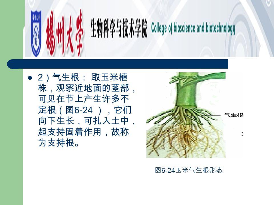 2 )气生根: 取玉米植 株,观察近地面的茎部, 可见在节上产生许多不 定根(图 6-24 ),它们 向下生长,可扎入土中, 起支持固着作用,故称 为支持根。 图 6-24 玉米气生根形态