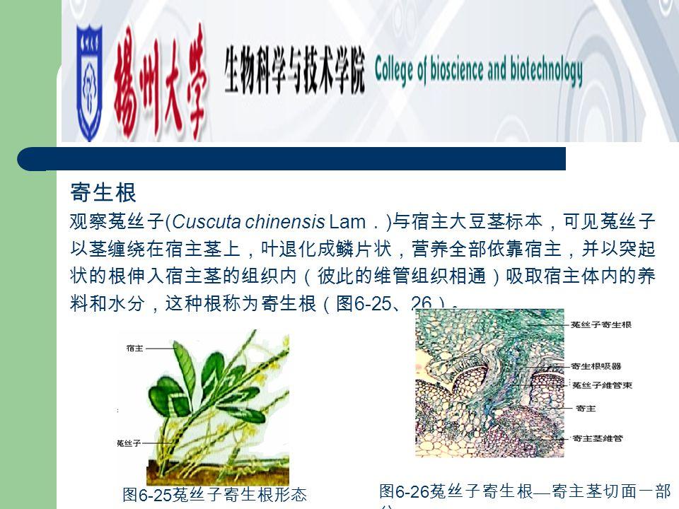 寄生根 观察菟丝子 (Cuscuta chinensis Lam . ) 与宿主大豆茎标本,可见菟丝子 以茎缠绕在宿主茎上,叶退化成鳞片状,营养全部依靠宿主,并以突起 状的根伸入宿主茎的组织内(彼此的维管组织相通)吸取宿主体内的养 料和水分,这种根称为寄生根(图 6-25 、 26 )。 图 6-2
