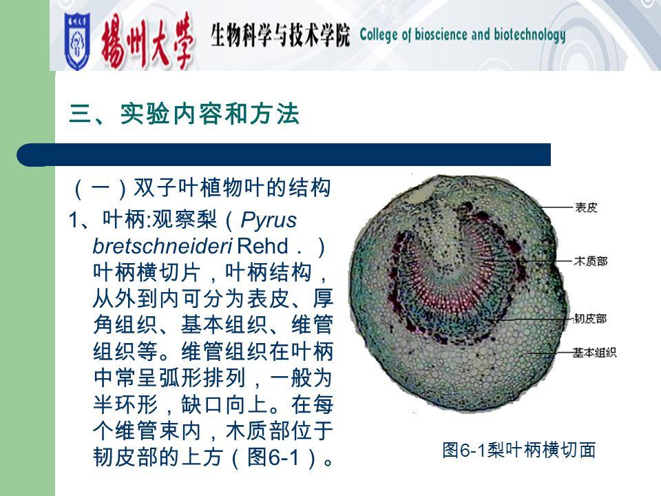 三、实验内容和方法 (一)双子叶植物叶的结构 1 、叶柄 : 观察梨( Pyrus bretschneideri Rehd .) 叶柄横切片,叶柄结构, 从外到内可分为表皮、厚 角组织、基本组织、维管 组织等。维管组织在叶柄 中常呈弧形排列,一般为 半环形,缺口向上。在每 个维管束内,木质部位于 韧