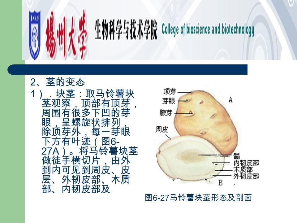 2 、茎的变态 1 ).块茎:取马铃薯块 茎观察,顶部有顶芽, 周围有很多下凹的芽 眼,呈螺旋状排列, 除顶芽外,每一芽眼 下方有叶迹(图 6- 27A )。将马铃薯块茎 做徒手横切片,由外 到内可见到周皮、皮 层、外韧皮部、木质 部、内韧皮部及 图 6-27 马铃薯块茎形态及剖面