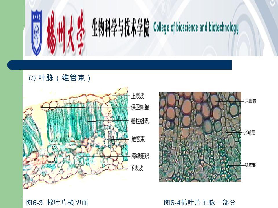 ⑶ 叶脉(维管束) 图 6-3 棉叶片横切面 图 6-4 棉叶片主脉一部分
