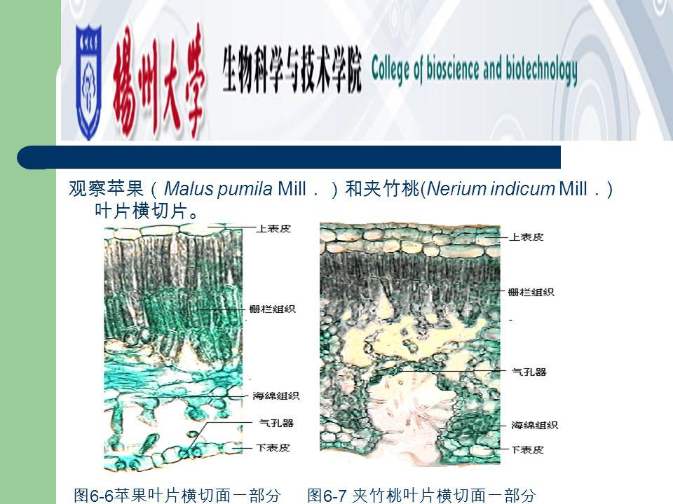⑵ 块根 图 6-22 山芋根形态及剖面 图 5-23 山芋根横切面一部分 图 6-23 山芋根横切面一部分