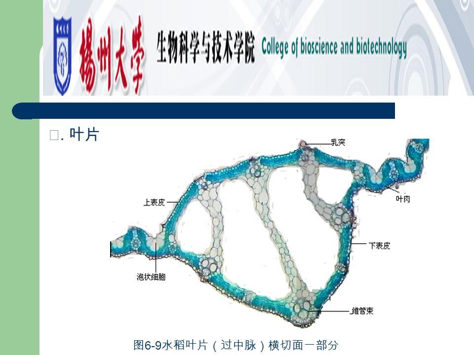 寄生根 观察菟丝子 (Cuscuta chinensis Lam . ) 与宿主大豆茎标本,可见菟丝子 以茎缠绕在宿主茎上,叶退化成鳞片状,营养全部依靠宿主,并以突起 状的根伸入宿主茎的组织内(彼此的维管组织相通)吸取宿主体内的养 料和水分,这种根称为寄生根(图 6-25 、 26 )。 图 6-26 菟丝子寄生根 — 寄主茎切面一部 分 图 6-25 菟丝子寄生根形态