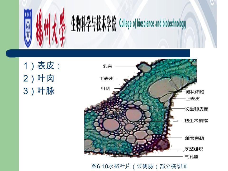 2 .取小麦叶横切制片观察,其结构与水稻基本相似,但表皮上没有硅质 乳突,维管束鞘为两层细胞构成(图 6-12 ),中脉部位没有通气组织, 维管束呈一轮(图 6-11 )。 图 6-11 小麦叶片(过中脉)横切面一部分 图 6-12 小麦叶片横切面一部分(维管束)
