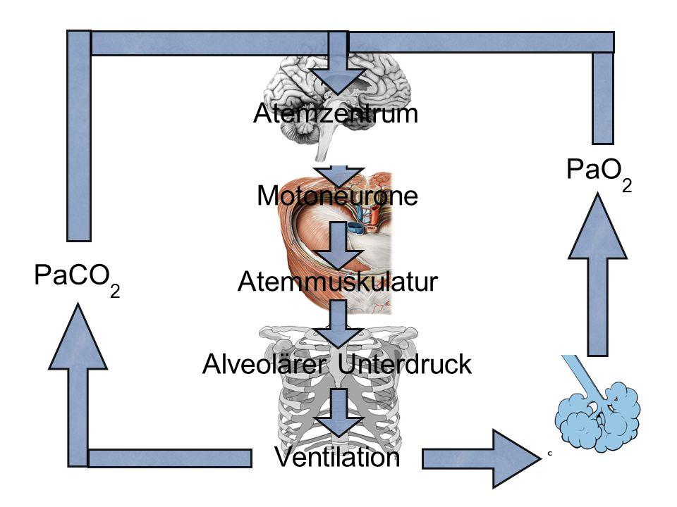 Atemmuskulatur Motoneurone Ventilation Alveolärer Unterdruck Atemzentrum PaCO 2 PaO 2