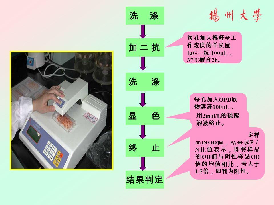 结果判定 洗 涤 终 止 显 色 洗 涤 加 二 抗加 二 抗 每孔加入稀释至工 作浓度的羊抗鼠 IgG 二抗 100μL , 37 ℃孵育 2h 。 每孔加入 OPD 底 物溶液 100μL , 37 ℃避光反应 15min 左右。 在 490nm 波长下测定样 品的 OD 值,结果以 P / N 比值表示,即将样品 的 OD 值与阴性样品 OD 值的均值相比,若大于 1.5 倍,即判为阳性。 用 2mol/L 的硫酸 溶液终止。