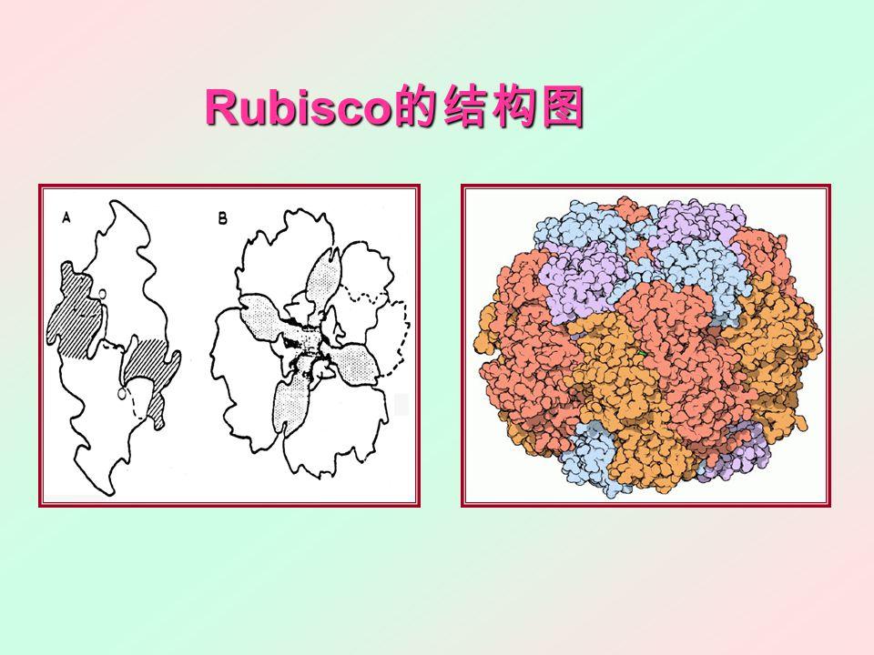 Rubisco 的结构图