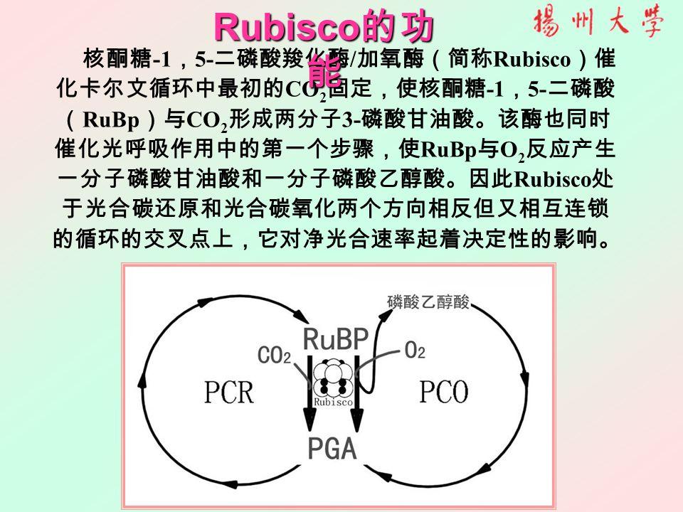 核酮糖 -1 , 5- 二磷酸羧化酶 / 加氧酶(简称 Rubisco )催 化卡尔文循环中最初的 CO 2 固定,使核酮糖 -1 , 5- 二磷酸 ( RuBp )与 CO 2 形成两分子 3- 磷酸甘油酸。该酶也同时 催化光呼吸作用中的第一个步骤,使 RuBp 与 O 2 反应产生 一分子磷酸甘油酸和一分子磷酸乙醇酸。因此 Rubisco 处 于光合碳还原和光合碳氧化两个方向相反但又相互连锁 的循环的交叉点上,它对净光合速率起着决定性的影响。 Rubisco 的功 能