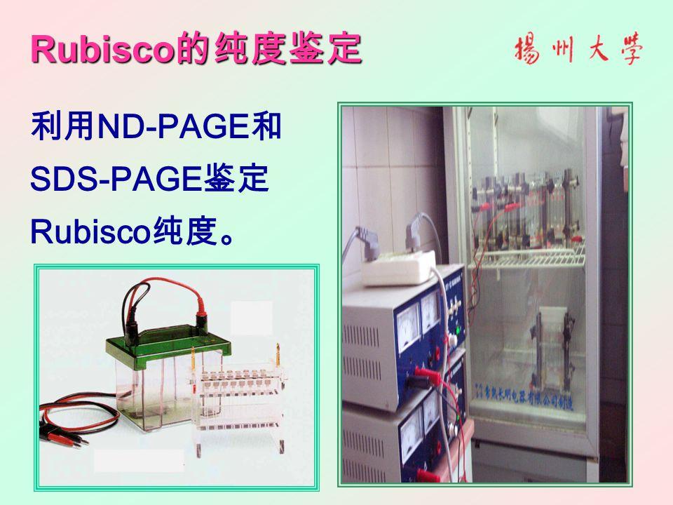 Rubisco 的纯度鉴定 利用 ND-PAGE 和 SDS-PAGE 鉴定 Rubisco 纯度。