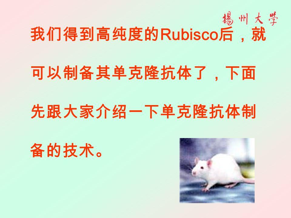 我们得到高纯度的 Rubisco 后,就 可以制备其单克隆抗体了,下面 先跟大家介绍一下单克隆抗体制 备的技术。