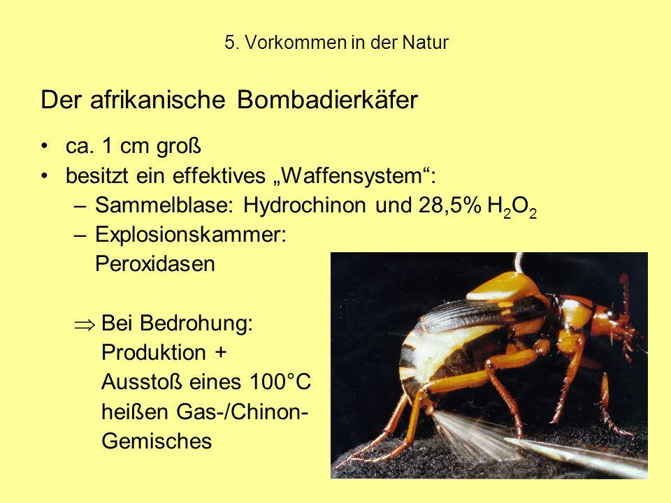 5.Vorkommen in der Natur Der afrikanische Bombadierkäfer ca.