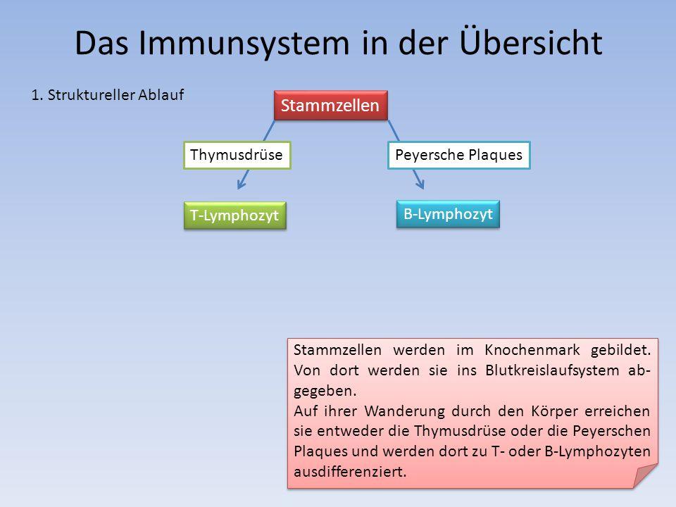 Stammzellen B-Lymphozyt T-Lymphozyt Peyersche PlaquesThymusdrüse Stammzellen werden im Knochenmark gebildet. Von dort werden sie ins Blutkreislaufsyst