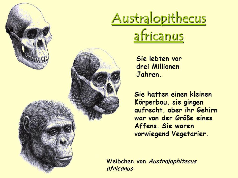 Australopithecus africanus Weibchen von Australophitecus africanus Sie lebten vor drei Millionen Jahren. Sie hatten einen kleinen Körperbau, sie ginge