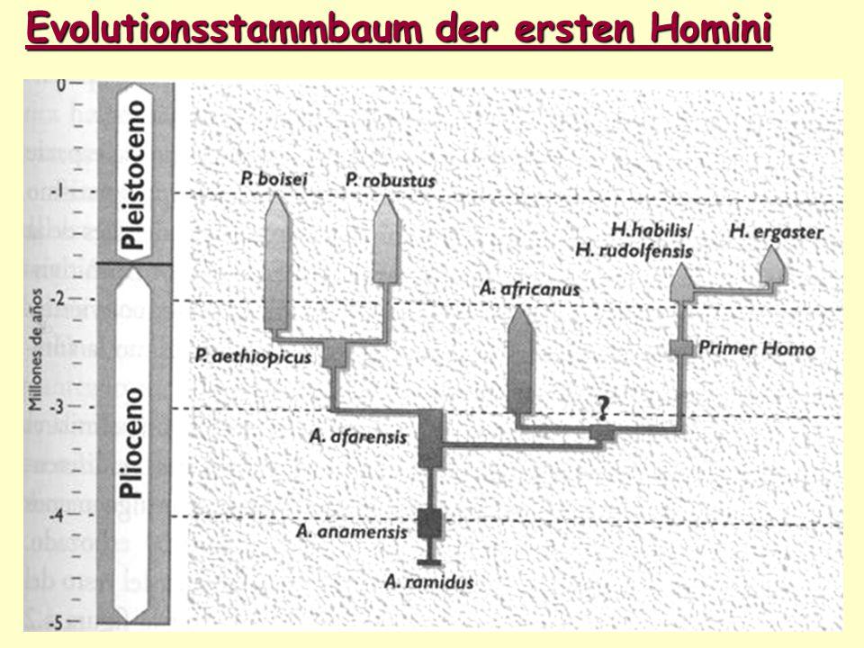 Evolutionsstammbaum der ersten Homini