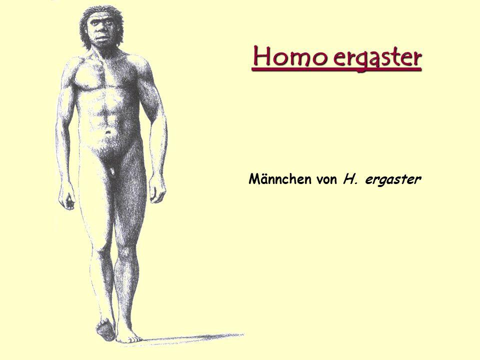 Homo ergaster Männchen von H. ergaster