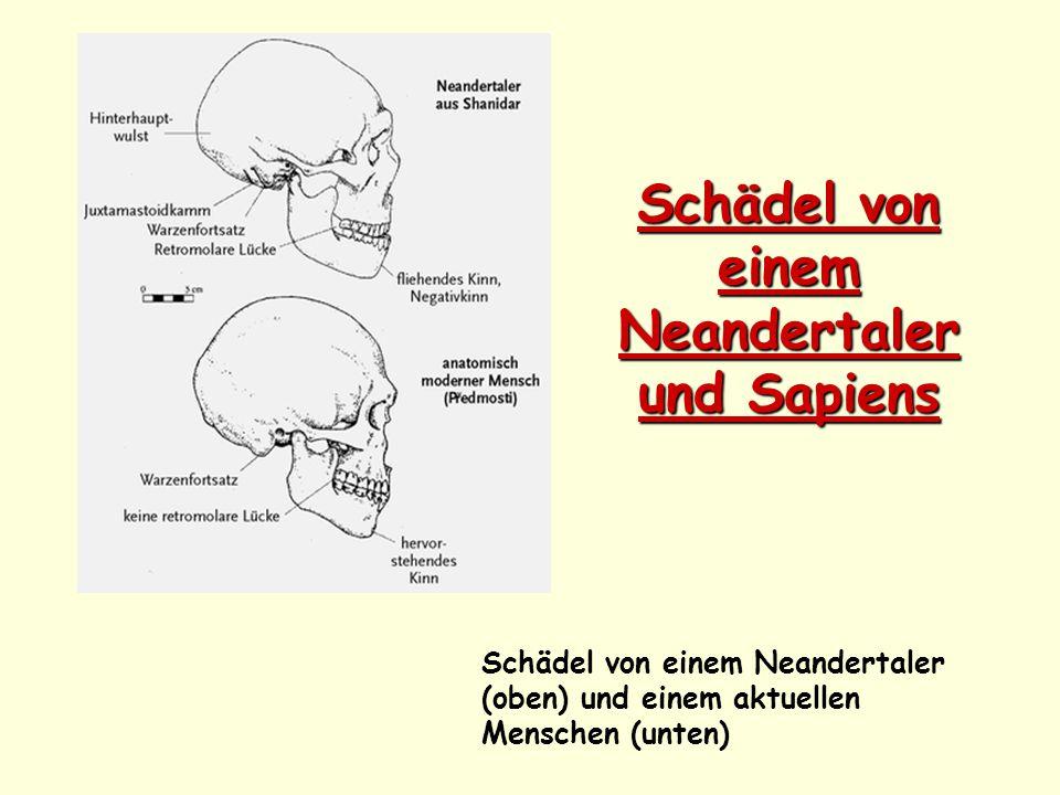 Schädel von einem Neandertaler und Sapiens Schädel von einem Neandertaler (oben) und einem aktuellen Menschen (unten)