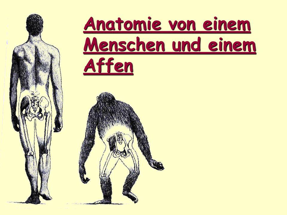 Anatomie von einem Menschen und einem Affen