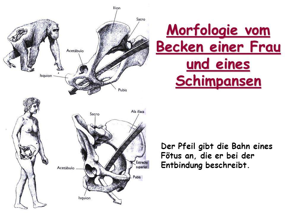 Morfologie vom Becken einer Frau und eines Schimpansen Der Pfeil gibt die Bahn eines Fötus an, die er bei der Entbindung beschreibt.