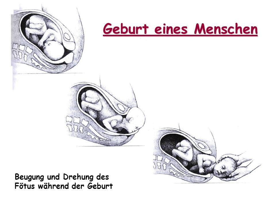 Geburt eines Menschen Beugung und Drehung des Fötus während der Geburt