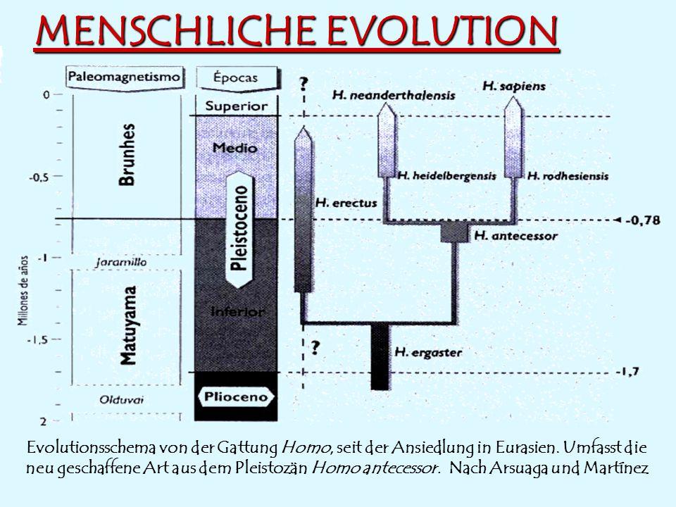 MENSCHLICHE EVOLUTION Evolutionsschema von der Gattung Homo, seit der Ansiedlung in Eurasien. Umfasst die neu geschaffene Art aus dem Pleistozän Homo