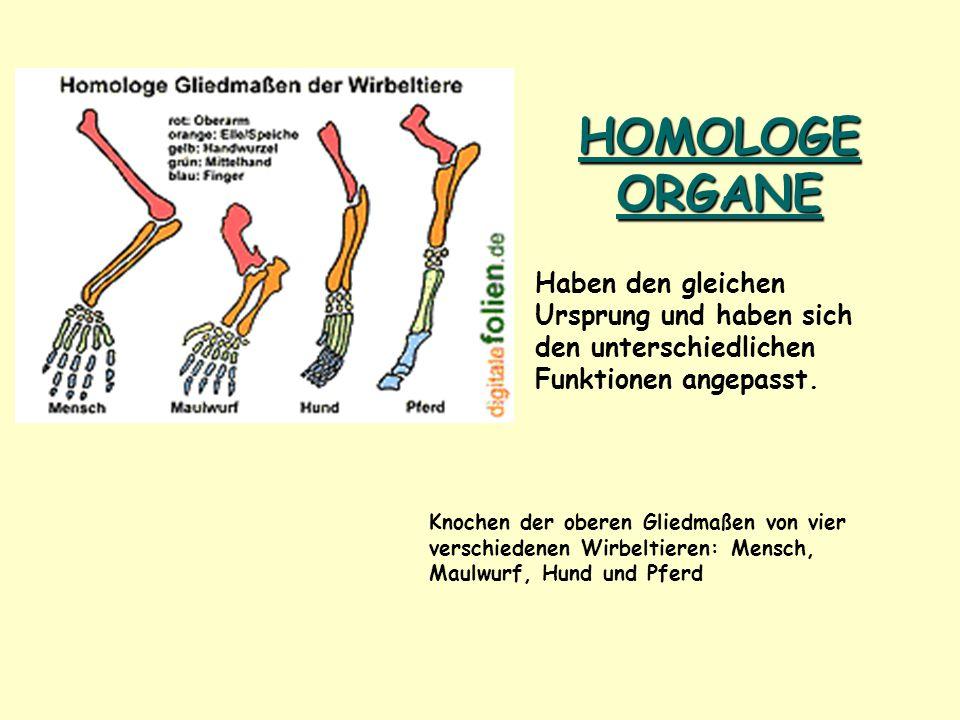 HOMOLOGE ORGANE Knochen der oberen Gliedmaßen von vier verschiedenen Wirbeltieren: Mensch, Maulwurf, Hund und Pferd Haben den gleichen Ursprung und ha