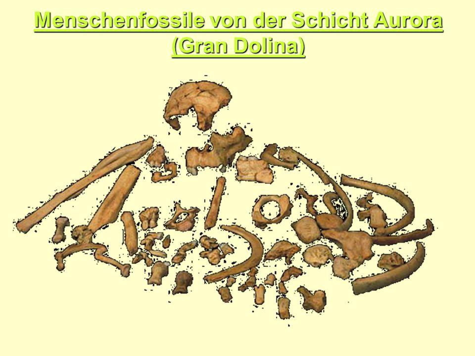 Menschenfossile von der Schicht Aurora (Gran Dolina)