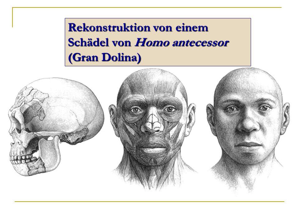Rekonstruktion von einem Schädel von Homo antecessor (Gran Dolina)