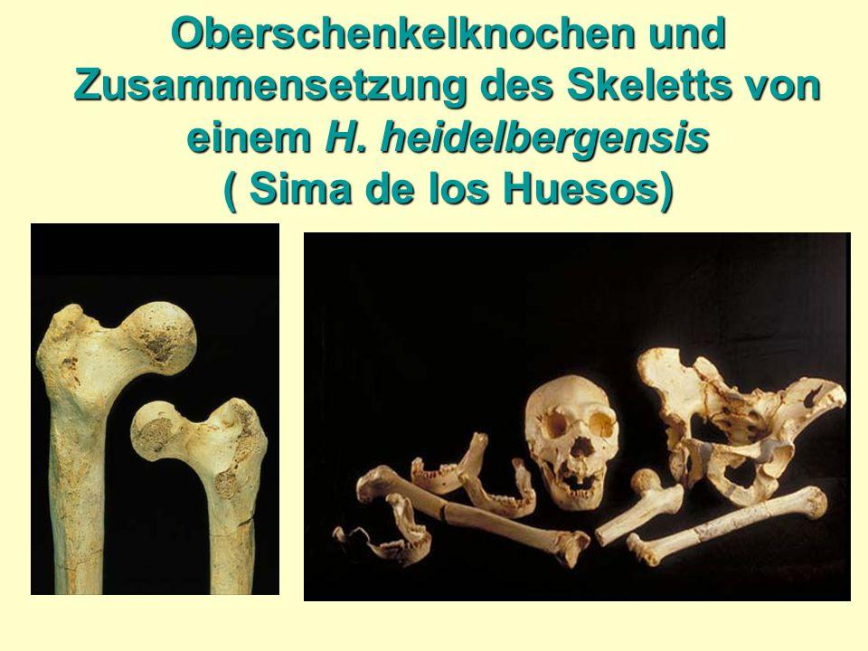 Oberschenkelknochen und Zusammensetzung des Skeletts von einem H. heidelbergensis ( Sima de los Huesos)