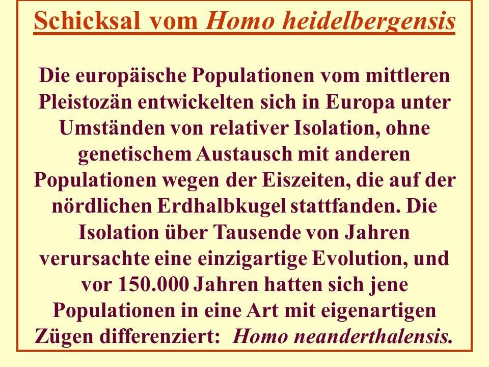 Schicksal vom Homo heidelbergensis Die europäische Populationen vom mittleren Pleistozän entwickelten sich in Europa unter Umständen von relativer Iso