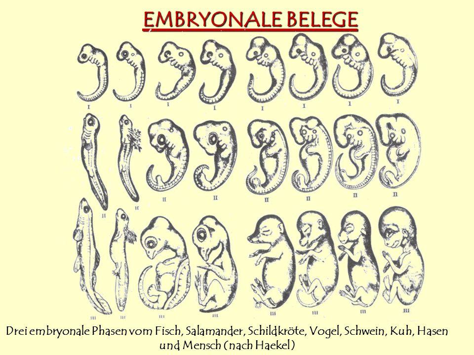 EMBRYONALE BELEGE Drei embryonale Phasen vom Fisch, Salamander, Schildkröte, Vogel, Schwein, Kuh, Hasen und Mensch (nach Haekel)