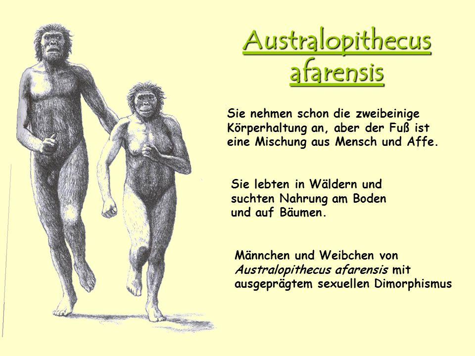 Australopithecus afarensis Männchen und Weibchen von Australopithecus afarensis mit ausgeprägtem sexuellen Dimorphismus Sie nehmen schon die zweibeini