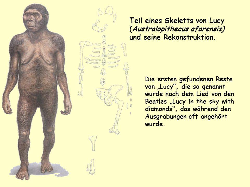 """Teil eines Skeletts von Lucy (Australopithecus afarensis) und seine Rekonstruktion. Die ersten gefundenen Reste von """"Lucy"""", die so genannt wurde nach"""