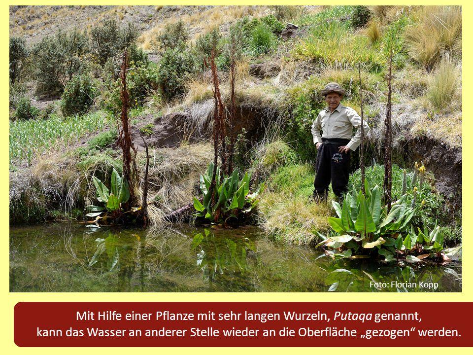 """Mit Hilfe einer Pflanze mit sehr langen Wurzeln, Putaqa genannt, kann das Wasser an anderer Stelle wieder an die Oberfläche """"gezogen"""" werden. Foto: Fl"""