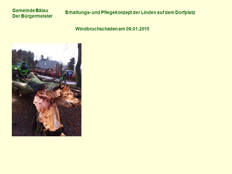 Gemeinde Bälau Der Bürgermeister Erhaltungs- und Pflegekonzept der Linden auf dem Dorfplatz Windbruchschaden am 09.01.2015 Bild links: Windbruch (bei Windstärke 11) – Stammdurchmesser des Baumes in 1 m Höhe = 245 cm!